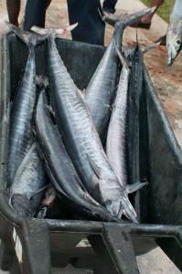 Lots of Wahoo Tampa Bay Fishing Charter Capt. Matt Santiago