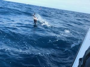 Sailfish Jumping Tampa Bay Fishing Charter Capt. Matt Santiago